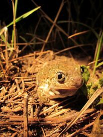 An image of a Spadefoot Toad