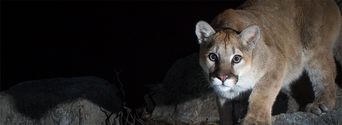 Image of a mountain lion from Wild Portraits: Exploring Wyoming's Wildlife with Camera Traps and Studio Lights